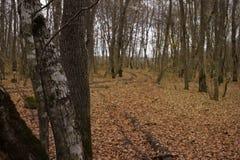 Opóźniona jesień w lasowych, spadać brązów liściach, zakrywał ziemię obrazy stock
