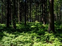 Opóźnionej wiosny lasowy pełny czarna jagoda krzaki w pogodnej pogodzie Obraz Stock