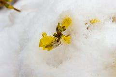 Opóźniony śnieg na kwitnących żółtych forsycjach fotografia royalty free