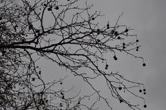 Opóźniony jesieni drzewo w jeden dniu z ciężką obłoczną pokrywą Fotografia Royalty Free