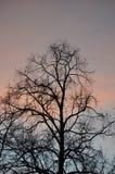 Opóźniony jesieni drzewo w wczesnym poranku Zdjęcie Royalty Free