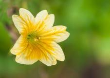 Opóźniony Salpiglossis kwiat zdjęcia stock