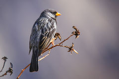 Opłakiwać Finch na drzewie w Colca jarze, Peru Fotografia Royalty Free