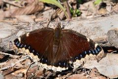 Opłakiwać peleryna motyla Fotografia Stock