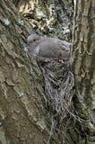 Opłakujący gołąbki (Zenaida macroura) Fotografia Royalty Free