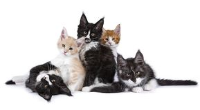 Op Μαίην Coon ομάδας γάτες γατακιών που απομονώνονται στο άσπρο υπόβαθρο Στοκ εικόνα με δικαίωμα ελεύθερης χρήσης