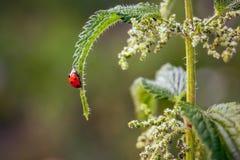 Op blad van netel kruipt lieveheersbeestje, fijne de zomerdag, het leven van stock afbeeldingen