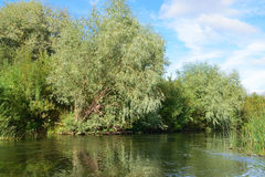 Op de banken van een kleine rivier het toenemen zilveren wilg Royalty-vrije Stock Fotografie