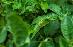 Op de bladeren van jonge aardappel uitgestelde eieren van de coloradokever van Colorado Royalty-vrije Stock Afbeeldingen