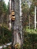 Op de boomstam van berkboom kweek de eetbare plaatzwammen van de paddestoelenhoning Stock Afbeelding