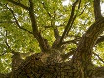 Op de boomstam van een grote eiken boom stock foto's
