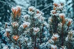 Op de groene takken van sparren of pijnboom is mooie witte sneeuw In de voorgrond een paar takken van pijnboom of sparren In stock afbeelding