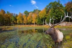 Op de heuvel dichtbij het meer is hert antlered Royalty-vrije Stock Foto's
