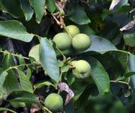 Op de tak van de boom is het fruit van de okkernoot Stock Afbeelding