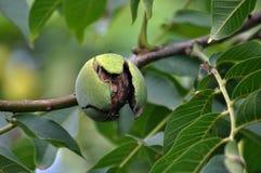 Op de tak van de boom is het fruit van de okkernoot Stock Afbeeldingen