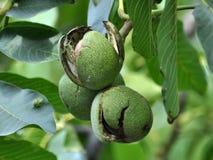 Op de tak van de boom is het fruit van de okkernoot Royalty-vrije Stock Foto