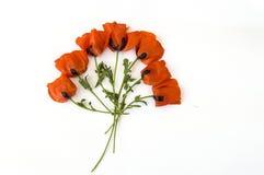 Op de witte grond zijn papaverbloemen, doorbladert de papaver, de beste papaverbloemen voor projecten en ontwerpen, Stock Afbeelding