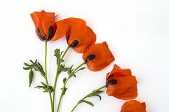 Op de witte grond zijn papaverbloemen, doorbladert de papaver, de beste papaverbloemen voor projecten en ontwerpen, Stock Afbeeldingen