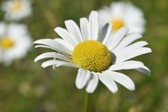 Op Dicht bekijk in Wilde Gemeenschappelijke Daisy in Bloei royalty-vrije stock fotografie