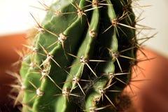 Op dichte cactusspinnewebben op aren royalty-vrije stock afbeelding