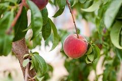 Op dichte mening van perzik het hangen op de tak van een perzikboom in een boomgaard royalty-vrije stock foto