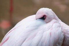 Op dichte mening van roze flamingoslaap royalty-vrije stock foto's