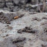 Op dichte mieren Stock Afbeeldingen