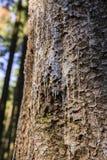 Op een boomhars stock fotografie