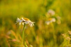 Op een groen gazon in de vroege mistige ochtend stock afbeeldingen