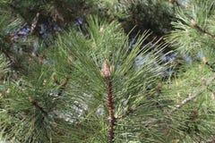 Op een groene pijnboom in de lente nam kegels toe Stock Fotografie