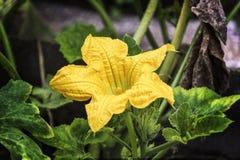 Op een groene tak kweekte een gele pompoenbloem Stock Foto's