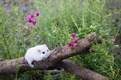 Op een logboek de Dzhungar-hamster stock fotografie
