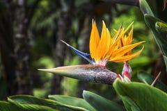 Op een onscherpe achtergrond de bloesem van het tot bloei komen Strelitzia Royalty-vrije Stock Afbeeldingen