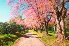 Op een rij de bomen van de kersenbloesem en het landschap van de wegaard backg Stock Afbeeldingen