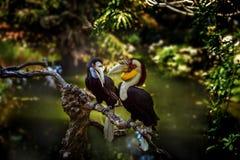 Op een tak in groen tropisch bos over de vijver zit Toekan twee Royalty-vrije Stock Foto