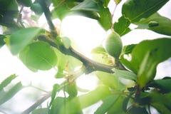 Op een tak met groene bladeren, de eerste groene abrikozenbessen stock fotografie