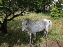Op een weiland van schoon milieu, vreedzaam weidt het jonge witte paard stock foto