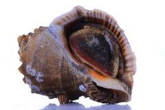 Op een witte achtergrond van kroonslak, zeevruchten stock fotografie