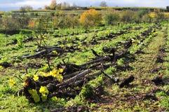 Op:graven-op wijnstokken Stock Fotografie