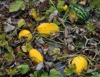 Op het gebied groeit de meloen Stock Foto's