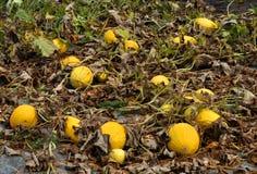 Op het gebied groeit de meloen Stock Afbeelding