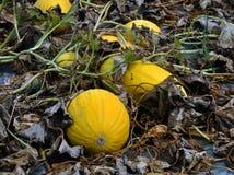 Op het gebied groeit de meloen Stock Foto