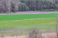 Op het gebied in ontsproten de korrel van de de lentetarwe, zal een nieuw gewas van brood verschijnen stock foto