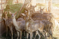 Op het landbouwbedrijf voor het fokken van herten stock foto
