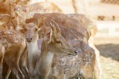 Op het landbouwbedrijf voor het fokken van herten stock afbeelding
