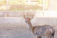 Op het landbouwbedrijf voor het fokken van herten royalty-vrije stock afbeeldingen
