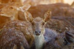 Op het landbouwbedrijf voor het fokken van herten Stock Fotografie
