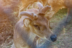 Op het landbouwbedrijf voor het fokken van herten Royalty-vrije Stock Foto