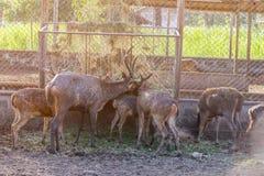 Op het landbouwbedrijf voor het fokken van herten Stock Foto's