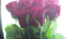 Op het rode rozen bespoten water op een witte achtergrond stock video
